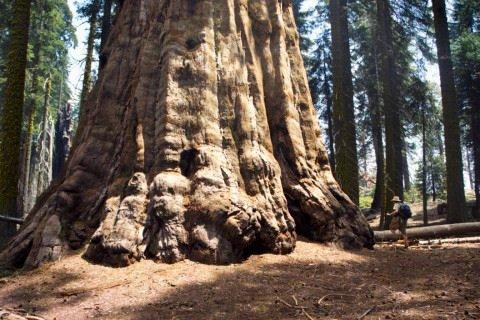 Самые интересные представители флоры нашей планеты 1272296308_biggest_tree_08_washington
