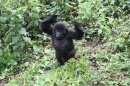 Краткий визит в страну горных горилл – часть 1