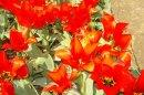 Крым… весна… Ялта… тюльпаны…